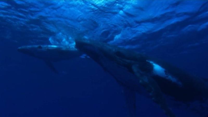 3_Les mammifères, témoins du milieu_article ©Agence des aires marines protégées/observatoire Pelagis – REMMOA 2014